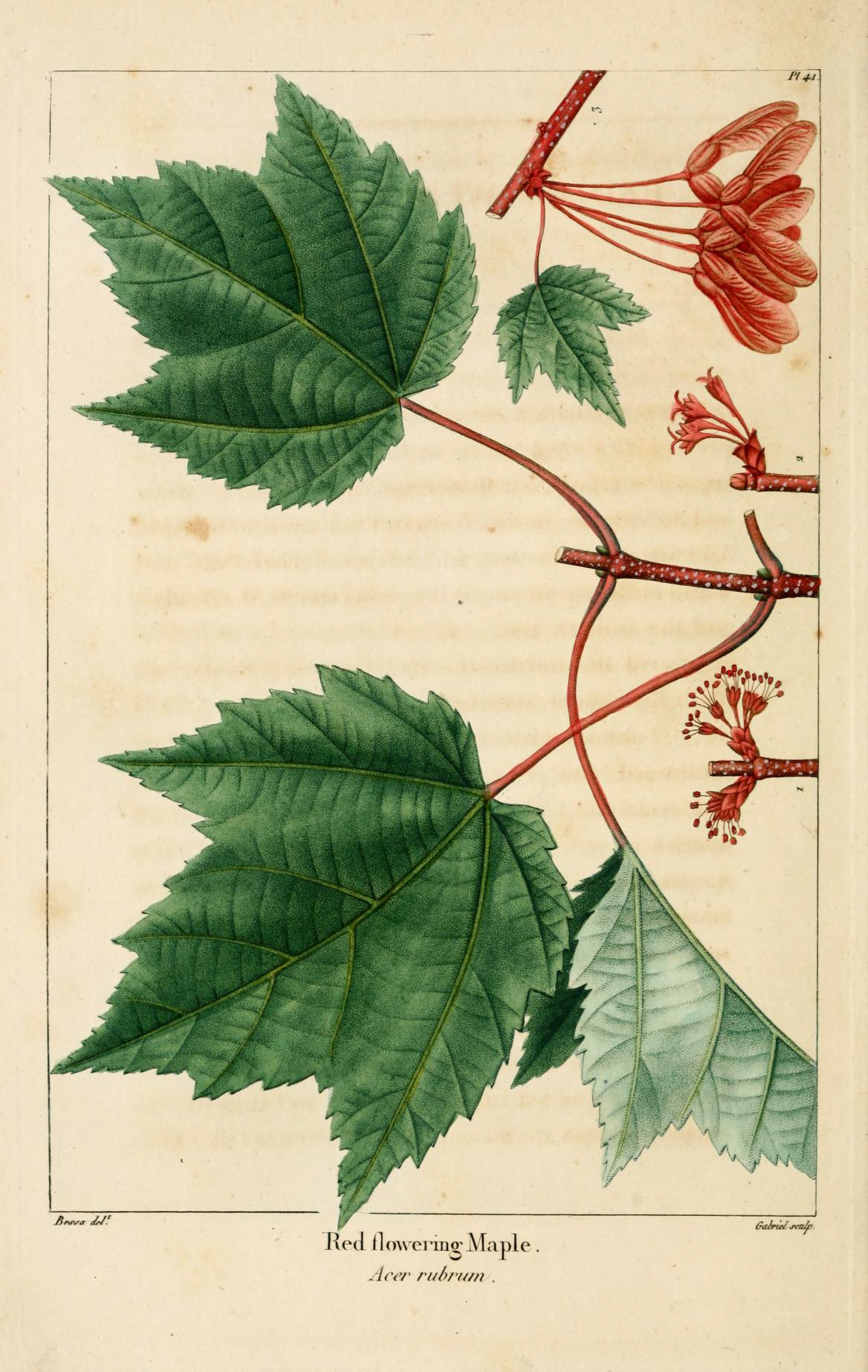 Red Maple_BHL download_North American Sylva 1819-Illustration.png