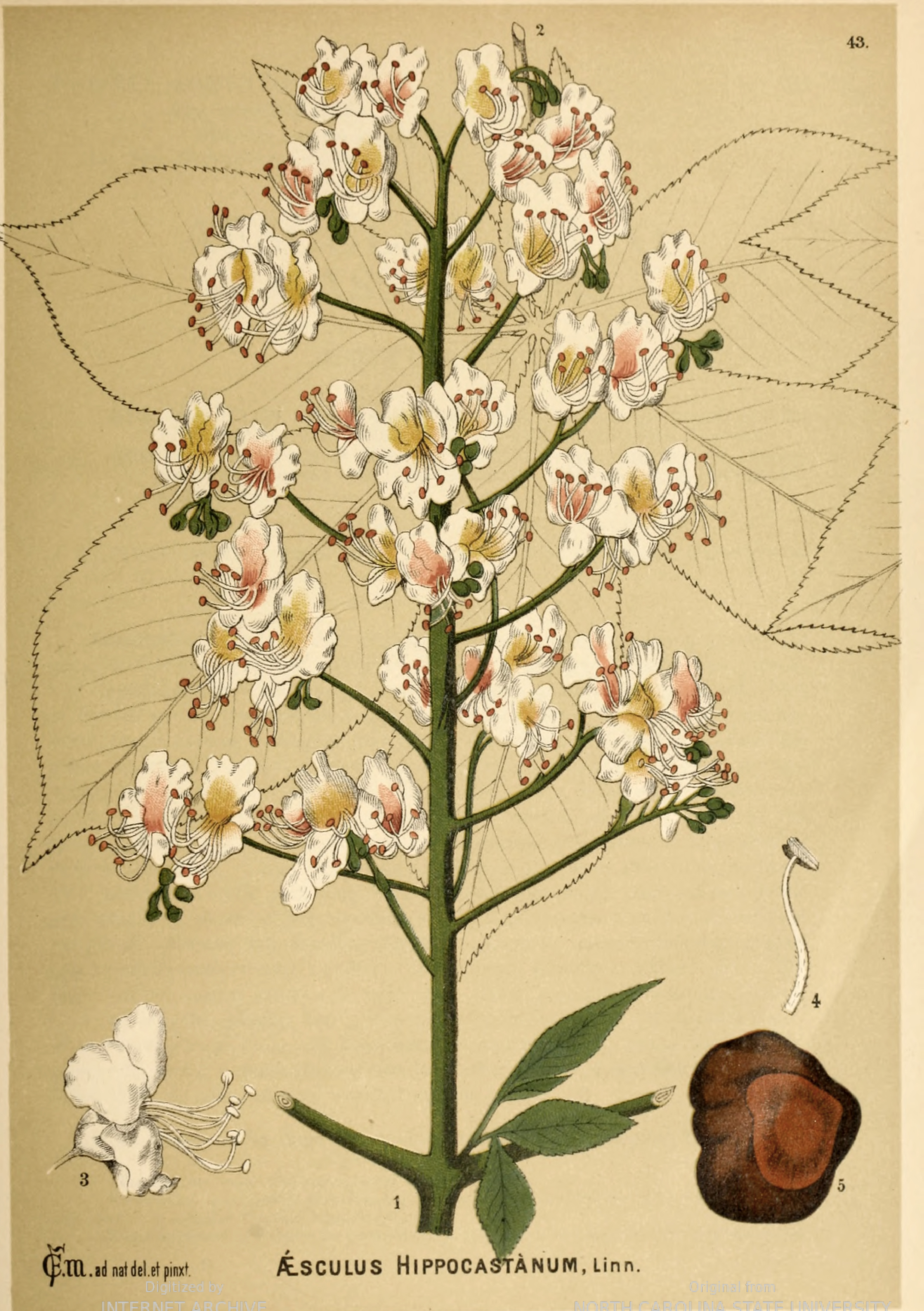 Tree_Horse Chestnut_American medicinal plants_Author Charles Millspaugh_1887.jpg