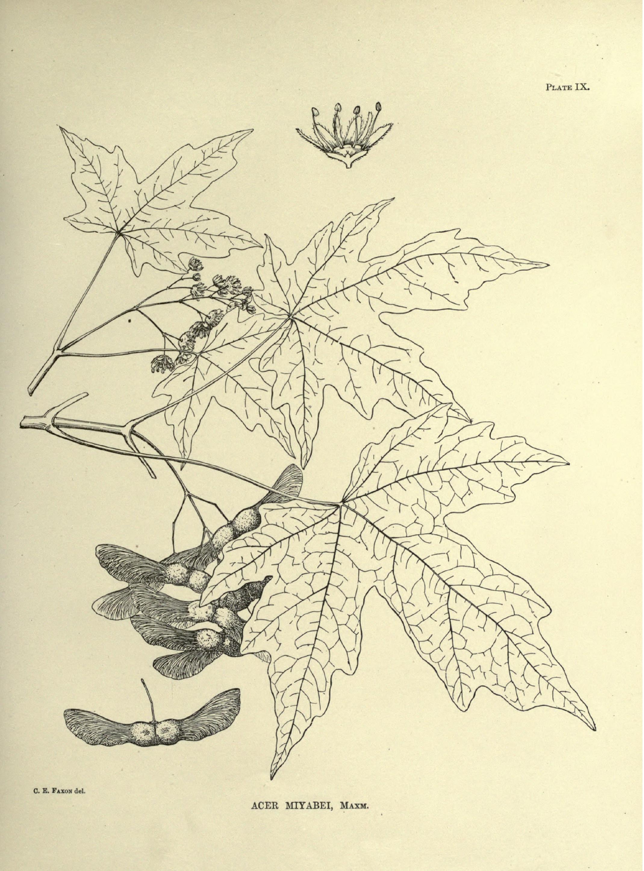 Acer miyabei_HathiTrust_1894.png